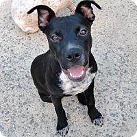 Adopt A Pet :: Douglas - Huntsville, AL