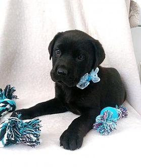Labrador Retriever/German Shepherd Dog Mix Puppy for adoption in Elkton, Maryland - Adam