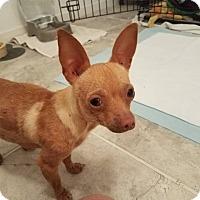 Adopt A Pet :: CHAROLETTE - Dallas, TX