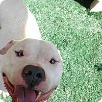 Adopt A Pet :: Fidget - Chula Vista, CA