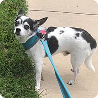 Adopt A Pet :: Snoopy - Springfield, MO
