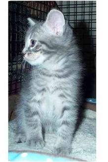 Domestic Shorthair Kitten for adoption in Acme, Pennsylvania - Iggy