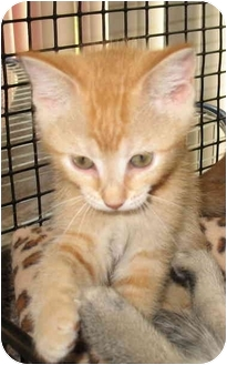 Domestic Shorthair Kitten for adoption in Acme, Pennsylvania - Ginger