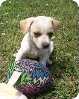 Chihuahua Mix Puppy for adoption in Brownsville, Tennessee - Meko