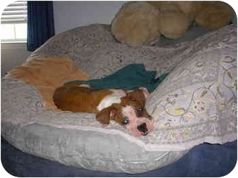 Boxer Mix Dog for adoption in Albany, Georgia - Pongo