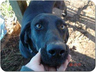 Plott Hound Mix Dog for adoption in Staunton, Virginia - Jake