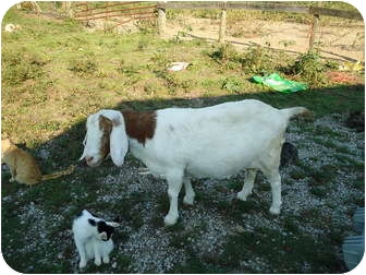 Goat for adoption in Somerset, Kentucky - Miss Lily