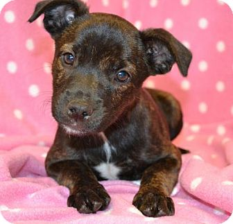 Chihuahua/Terrier (Unknown Type, Small) Mix Puppy for adoption in Westport, Connecticut - *Alice - PENDING