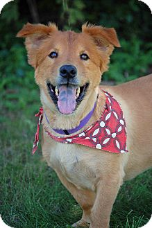 Chow Chow/Welsh Corgi Mix Dog for adoption in Mora, Minnesota - Shorty