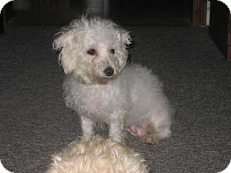 Bichon Frise/Maltese Mix Dog for adoption in Hilliard, Ohio - Lucy