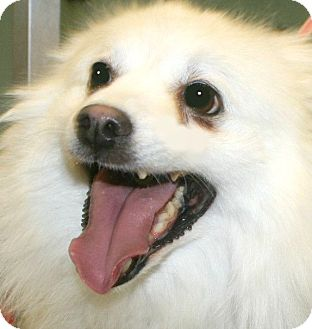American Eskimo Dog Mix Dog for adoption in Pawling, New York - **SNOW**