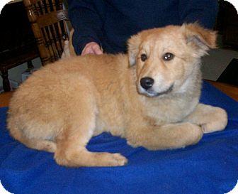 Golden Retriever/Labrador Retriever Mix Puppy for adoption in Liberty Center, Ohio - Tonya