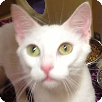 Domestic Shorthair Cat for adoption in Weatherford, Texas - Coco