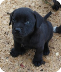 Labrador Retriever Mix Puppy for adoption in Seneca, South Carolina - Candy