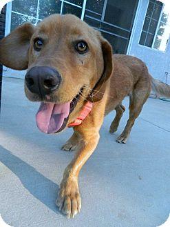 Golden Retriever/Basset Hound Mix Dog for adoption in Los Angeles, California - Red