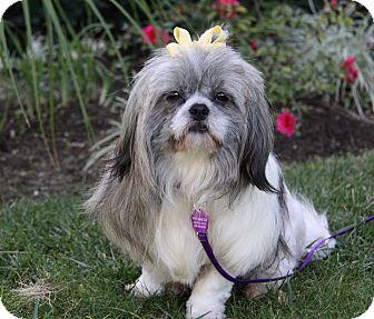 Shih Tzu Dog for adoption in Newport Beach, California - LEONA