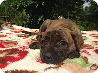 Boxer/Labrador Retriever Mix Puppy for adoption in Kittery, Maine - Holly