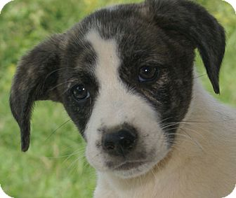 German Shepherd Dog/Boxer Mix Puppy for adoption in Hagerstown, Maryland - Brittany