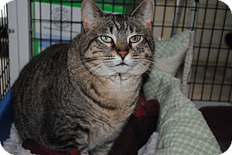 Domestic Shorthair Cat for adoption in Bay City, Michigan - Scarlet