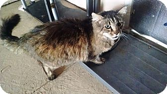 Maine Coon Cat for adoption in Grand Junction, Colorado - Maggie
