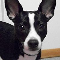 Boston Terrier Mix Dog for adoption in Mtn Grove, Missouri - Tank