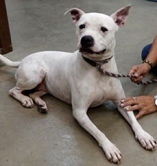 Pit Bull Terrier Dog for adoption in Amarillo, Texas - Sandie