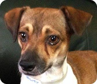 Patterdale Terrier (Fell Terrier)/Terrier (Unknown Type, Medium) Mix Dog for adoption in Maquoketa, Iowa - Muneco