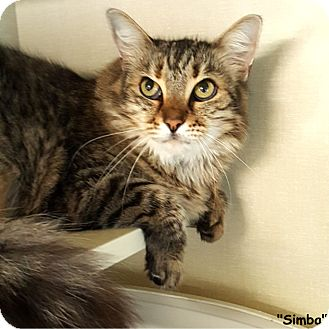 Domestic Longhair Cat for adoption in Key Largo, Florida - Simba