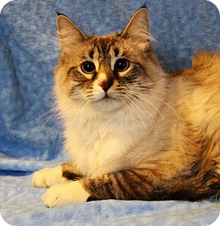 Ragdoll Cat for adoption in Greensboro, North Carolina - Milo
