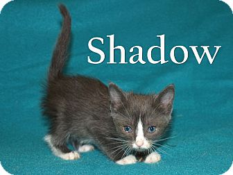 Domestic Shorthair Kitten for adoption in Jackson, Mississippi - Shadow