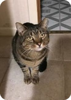 Domestic Shorthair Cat for adoption in McHenry, Illinois - Picasso