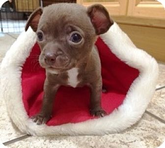 Chihuahua Puppy for adoption in Castro Valley, California - Gunner