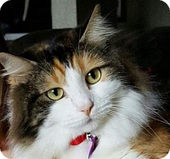 Maine Coon Cat for adoption in Davis, California - Addlyn