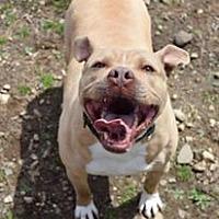 Adopt A Pet :: Capone - Ozone Park, NY