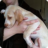 Adopt A Pet :: Angel - Adopted! - Croydon, NH