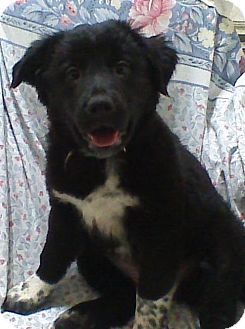Australian Cattle Dog Mix Puppy for adoption in Pataskala, Ohio - Pepper