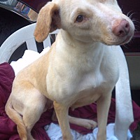 Labrador Retriever/Hound (Unknown Type) Mix Dog for adoption in Orange Lake, Florida - Lottie