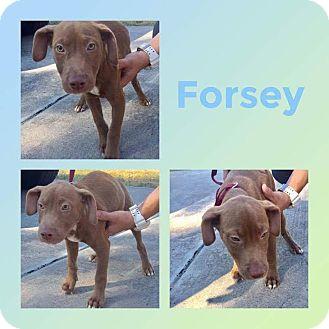 Labrador Retriever/Weimaraner Mix Puppy for adoption in Mesa, Arizona - FORSEY