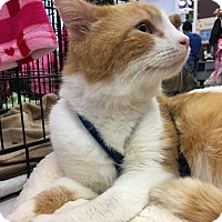 Domestic Shorthair Cat for adoption in Richmond, Virginia - Buddy