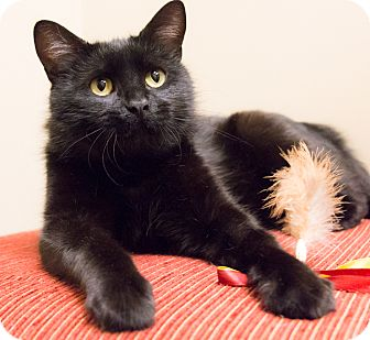 Domestic Shorthair Cat for adoption in Chicago, Illinois - Black Pearl