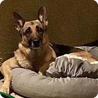 Adopt A Pet :: Kodi - Las Vegas, NV