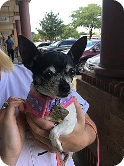 Chihuahua Mix Dog for adoption in Dallas, Texas - Maxine