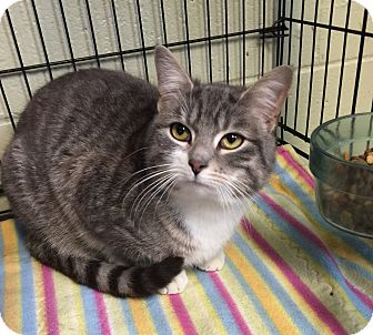 Domestic Shorthair Cat for adoption in Holland, Michigan - Prince
