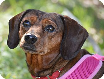 Dachshund Dog for adoption in Wimberley, Texas - April