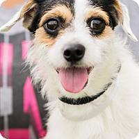 Adopt A Pet :: ROOMBA - Seattle, WA