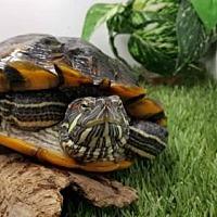 Adopt A Pet :: Oscar - Pefferlaw, ON