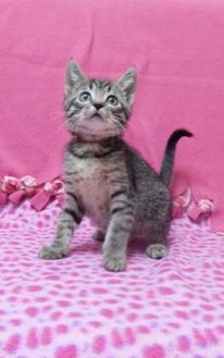 Domestic Shorthair/Domestic Shorthair Mix Cat for adoption in Monroe, Wisconsin - Dory