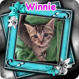 Domestic Shorthair Kitten for adoption in Brentwood, New York - Winnie