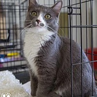 Adopt A Pet :: Speedy - Merrifield, VA
