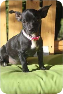 Chihuahua/Dachshund Mix Puppy for adoption in Yuba City, California - Mercedes